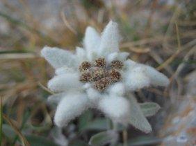 floarea muntilor