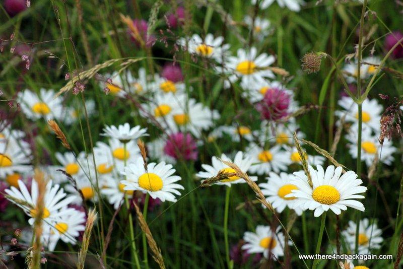 flori de pajiste
